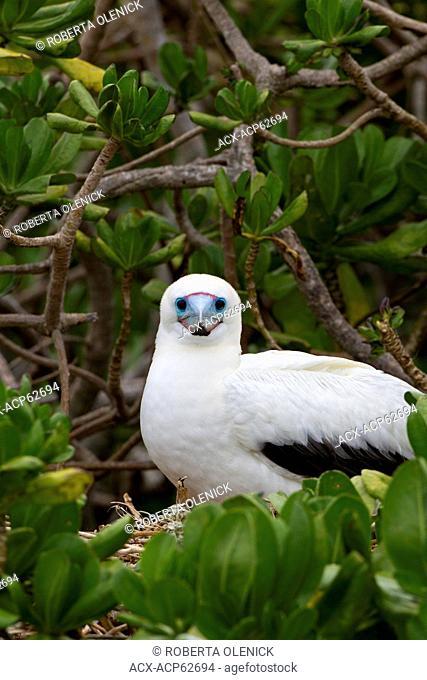 Red-footed booby (Sula sula rubripes), on nest in naupaka kauhakai (Scaevola sericea), Eastern Island, Midway Atoll National Wildlife Refuge