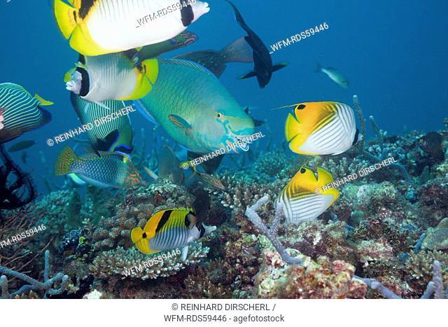 Coralfishes on Coral Reef, North Ari Atoll, Maldives