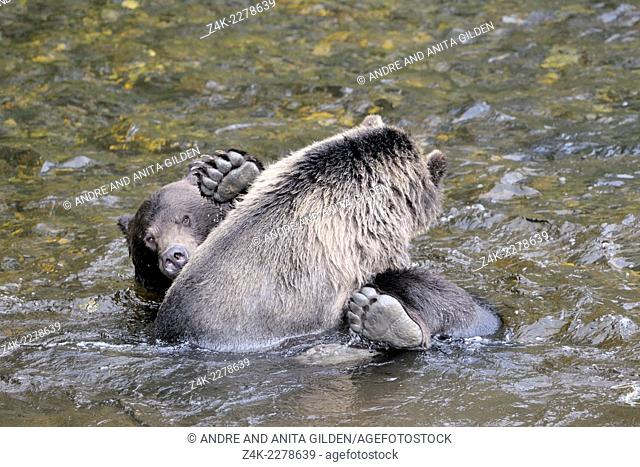 Two Grizzly Bears (Ursus arctos horribilis) playing in water, Glendale river, Canada