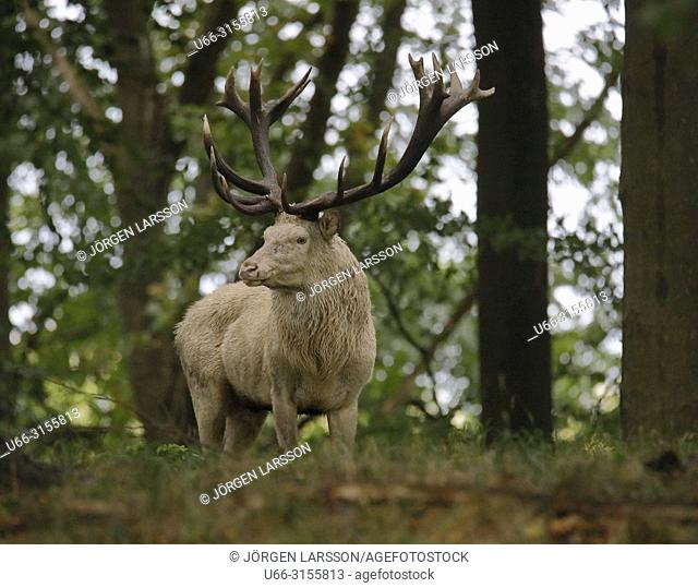 Red Deer (Cervus elaphus), Jaegersborg, Denmark