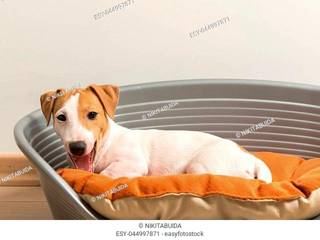 Little Cute Jack Russell Terrier Lying Calm on Luxury Dog Bed