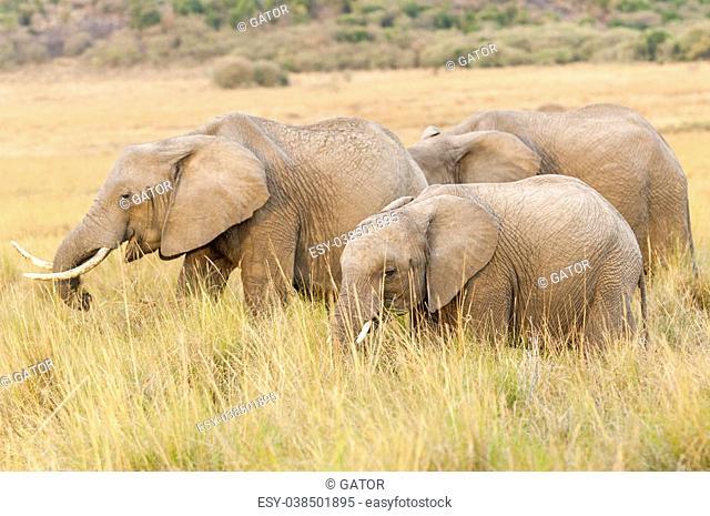 Group of African bush elephants (Loxodonta africana) feeding in grasses of Amboseli, Kenya