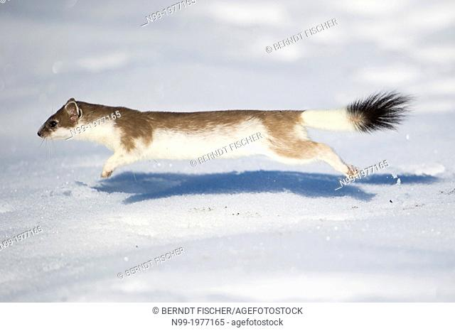 Stoat (Mustela erminea) at the end of winter , jumping, changing the white winter coat in brown summer coat, Bavaria, Germany
