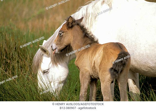 Wild horse of Camargue. Mare and foal. Camargue. Southern France