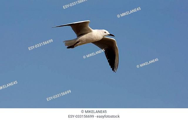 Audouin's gull Larus audouinii, flight, Spain, spring