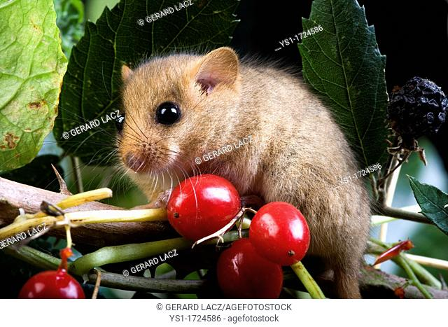 Common Dormouse, muscardinus avellanarius, Adult standing on Branch with Berries, Normandy