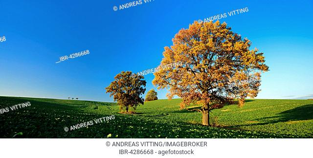 Solitary oaks (Quercus sp.) in autumn, field with winter rapeseed (Brassica napus), Burgenlandkreis, Saxony-Anhalt, Germany