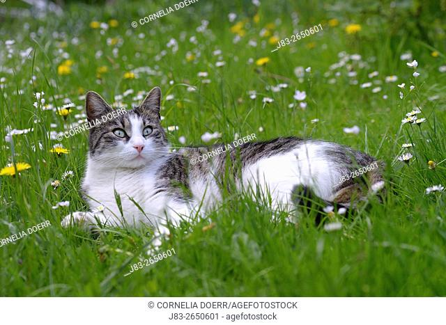 Domestic cat in Garden in Spring
