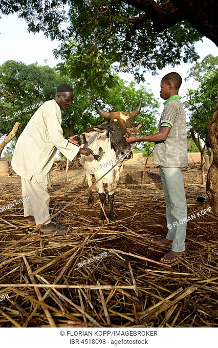Farmers treating sick cattle against sheeppox, village Koungo, Plateau Central, Burkina Faso