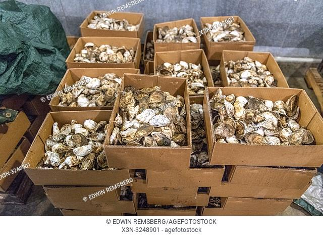Stacked cardboard boxes full of farm raised oysters Hollywood, Maryland