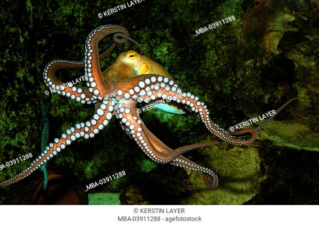 underwater-shot, mean octopus, Octopus vulgaris, wildlife, underwater-world, animal, sea-bulls, cephalopod, squid, mollusk, Oktopus, movement, tentacles