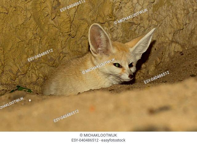 Fennec fox in captivity, zoo in Holland