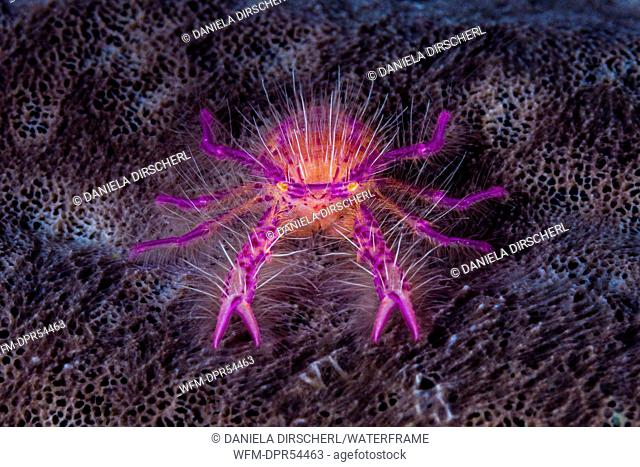 Hairy Squat Lobster, Lauriea siagiani, Ambon, Moluccas, Indonesia