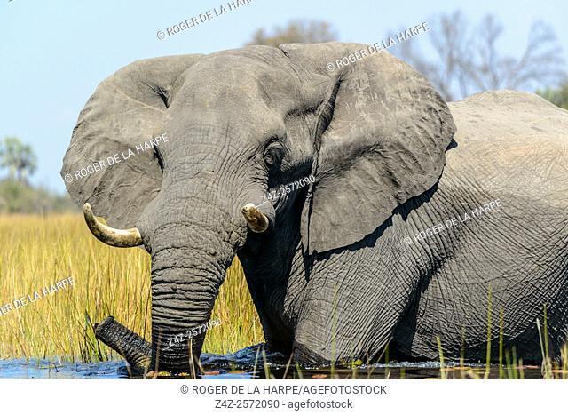 African Bush Elephant (loxodonta africana) crossing a water body. Okavango Delta. Botswana