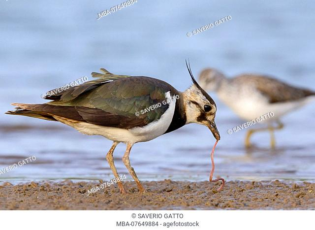 Northern Lapwing, Feeding, Campania, Italy (Vanellus vanellus)