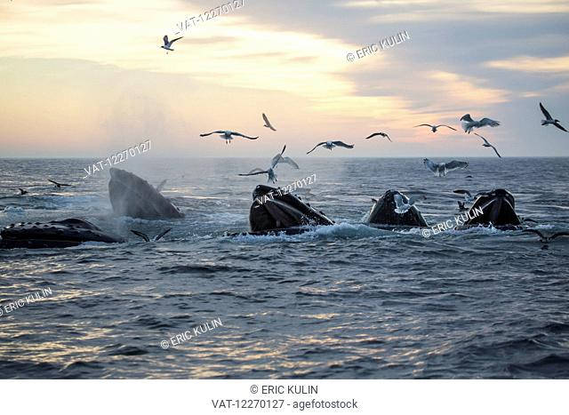 Humpback whales (Megaptera novaeangliae) and a flock of birds on the surface of the water at sunset; Massachusetts, United States of America