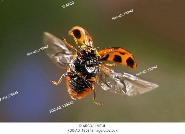 Multicolored Asian Lady Beetle Harmonia axyridis Multicolored Asian Lady Bird