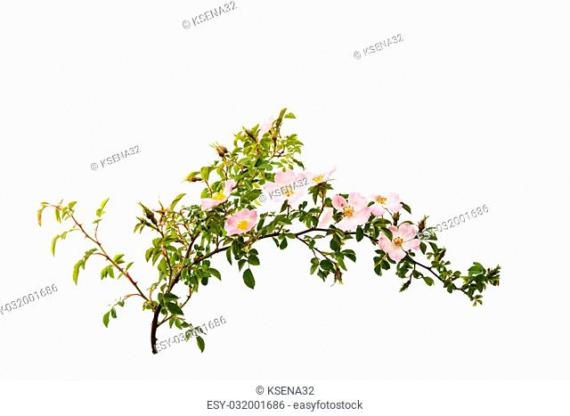 branch with flowers of rose hips isolated on a white background