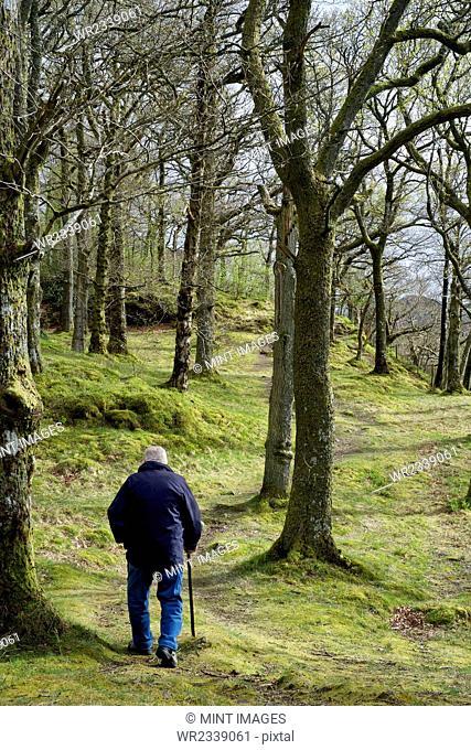 An elderly man using a walking stick, walking through woodland