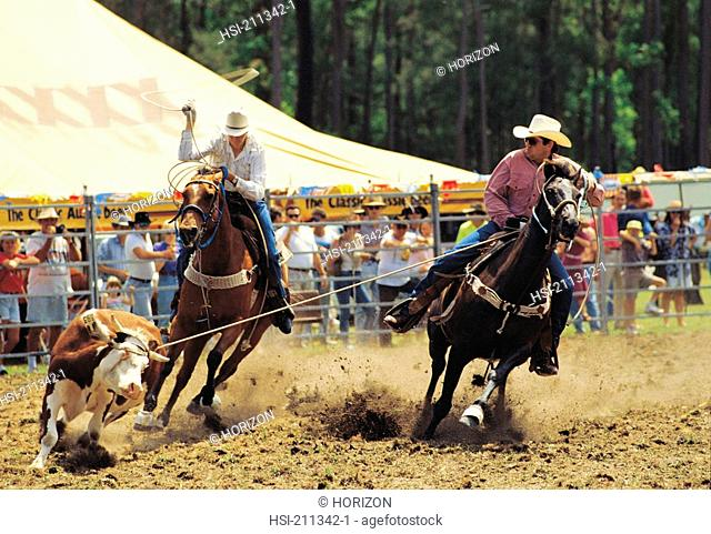 Two cowboys roping cow at rodeo. Queensland, Australia