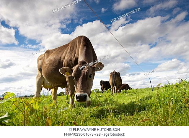 Domestic Cattle, Brown Swiss dairy cows, grazing in pasture beside electric fence, Dumfries, Dumfries and Galloway, Scotland, June