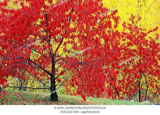 Pincherry (Prunus pensylvanica) Autumn foliage, Greater Sudbury, Ontario, Canada
