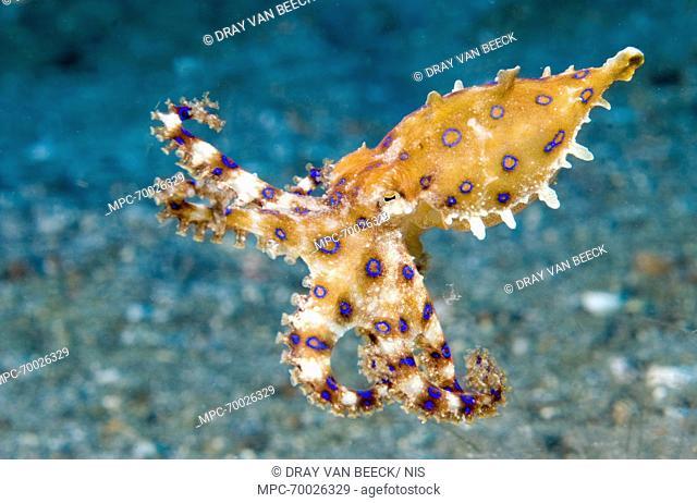 Blue-ringed Octopus (Hapalochlaena sp), Lembeh, Sulawesi, Indonesia