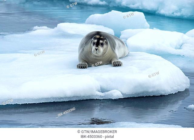 Bearded Seal (Erignathus barbatus) laying on pack ice, Spitsbergen Island, Svalbard Archipelago, Norway