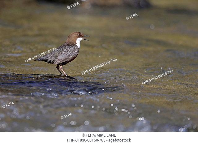 White-throated Dipper (Cinclus cinclus gularis) adult, calling, standing in stream, Wales, March