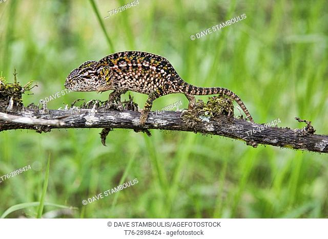 White-lined or carpet chameleon (Furcifer lateralis), Andasibe-Mantadia National Park, Madagascar