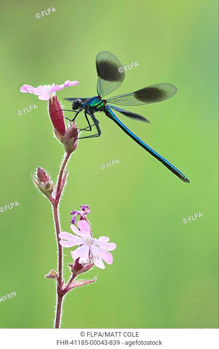 Banded Demoiselle Calopteryx splendens adult male, resting on flower, Leicestershire, England, june