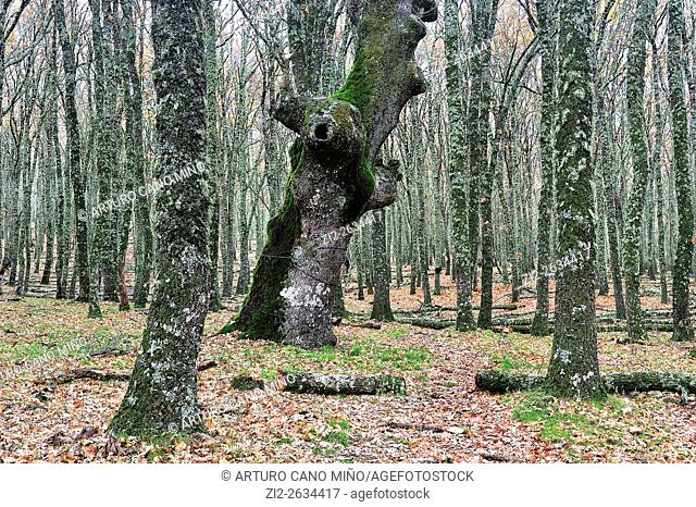 Forest on the Sierra of San Vicente.Toledo province, Spain