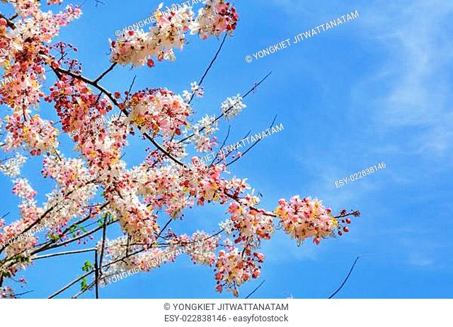 Pink flowering tree similar sakura