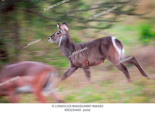A waterbuck, Kobus ellipsiprymnus, runs, looking away, blurred motion, impala in foreground, Aepyceros melampus