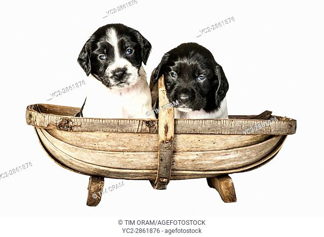 Two 4 week old black and white English Springer Spaniel puppys in a trug