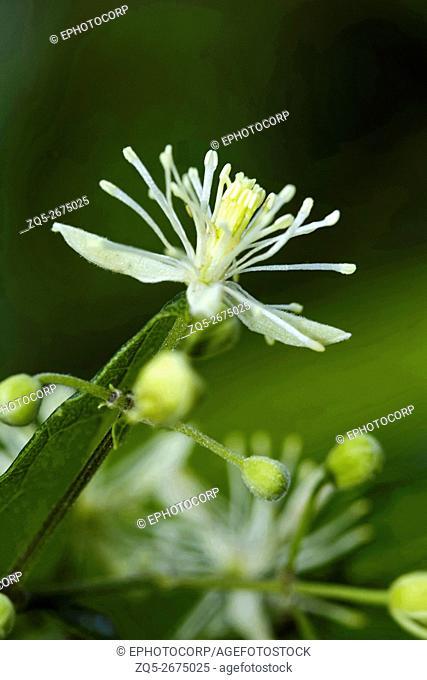 Flower of wild guava tree. Chorla Ghats Mhadei Wildlife Sanctuary Goa