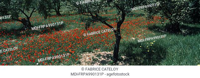 Red poppy fields at foot of olive trees in Provence