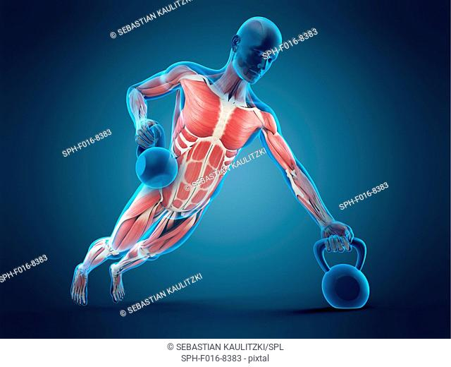 Muscular structure of person lifting kettle bells, illustration