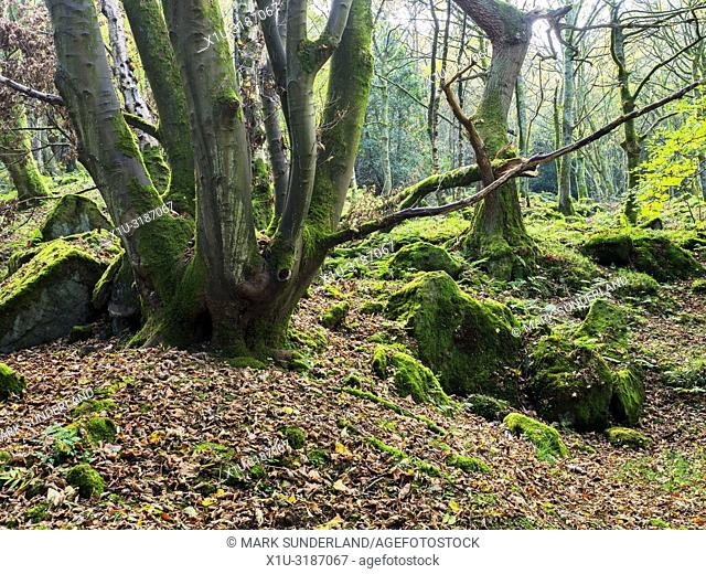 Tree trunks and moss covered rocks in Guisecliff Wood in autumn Pateley Bridge North Yorkshire England