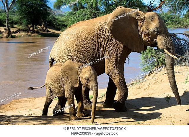 African elephant (Loxodonta africana), cow and cub on a river bank, Samburu National Reserve, Kenya