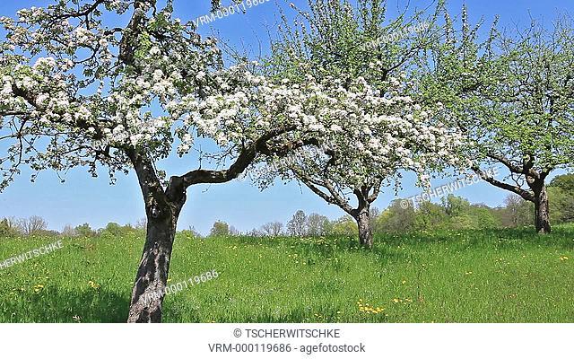 Blooming trees, Bavaria, Germany, Europe