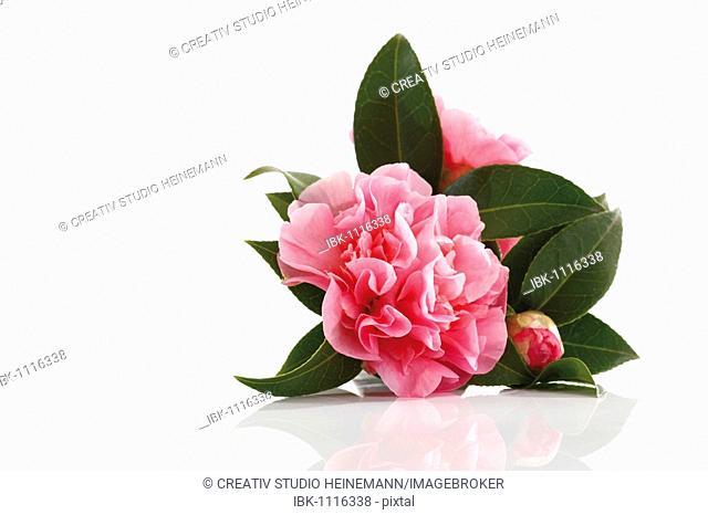 Japanese Camellia (Camellia japonica)