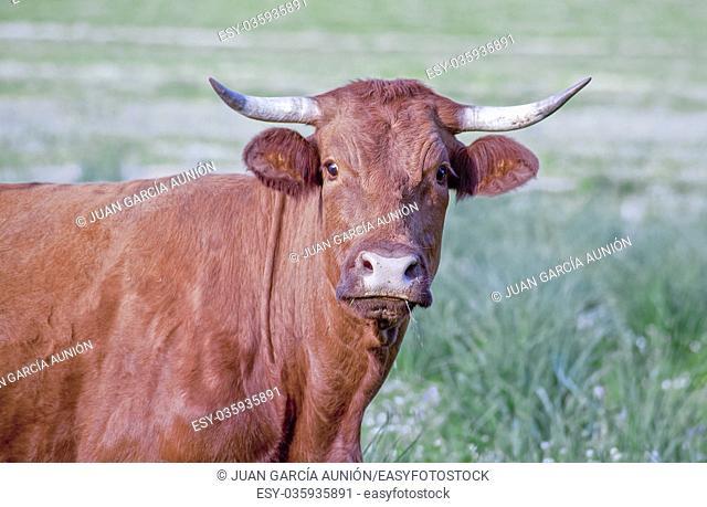 Red retinta cow grazing at Alor Mountains Dehesas. San Jorge de Alor, Badajoz, Spain