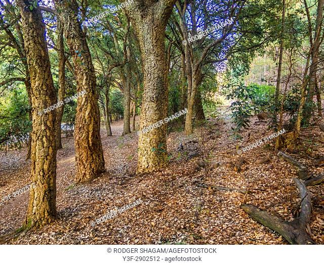 Pathway through a grove of old cork ttrees. Cape Town, South Africa