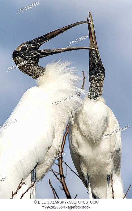 Wood Storks Courtship Behavior - Wakodahatchee Wetlands, Delray Beach, Florida, USA