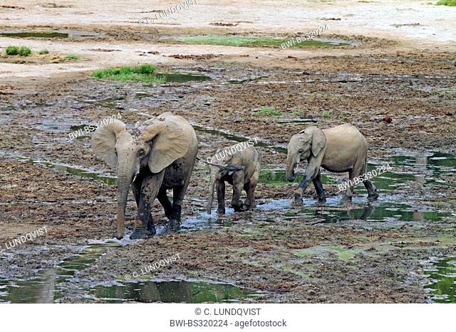 Forest elephant, African elephant (Loxodonta cyclotis, Loxodonta africana cyclotis), three elephants walking in a water hole, Central African Republic