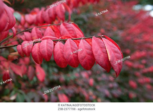 Cranberry and purple leaves in autumn, Frelinghuysen Arboretum, Morristown, New Jersey, NJ, USA