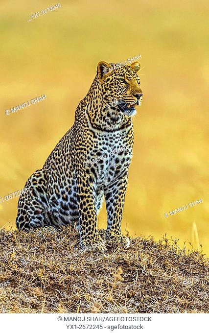 Leopard - observing the plains from an anthill - Masai Mara National Reserve, Kenya