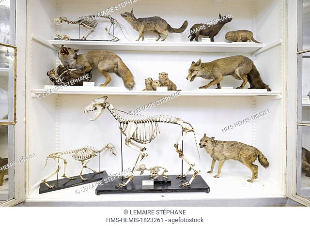 France, Seine Maritime, Rouen, Museum of Natural History, showcase in the mammals room