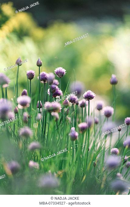 Blooming chive in the garden